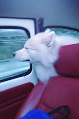Untitled (morosophous) Tags: road travel dog car vintage wind samoyed buddy riding chillling guilim guilimora