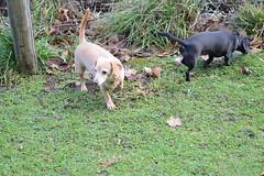 January 19/15 - Along the Malahat (Primespot Photography) Tags: ocean trees dog dogs water island bay bc britishcolumbia dachshund vancouverisland snowdrops arbutus duncan bamberton millbay doxie malahat chiweenie