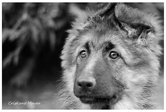 Sguardo dell'anima (Cristiano70) Tags: dog cane occhi sguardo schferhund cristianomavar