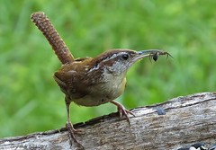 Carolina Wren (ghelm4747) Tags: usa bird nature birds animal canon insect outside fly us bill wings backyard florida spiders wildlife beak feathers southcarolina perch gary ta larvae helm carolinawren polkcounty statebird lakewales sx50hs ghelm4747 garyhelm largestwren