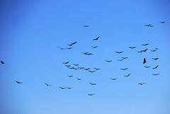 Turkey vultures (BeyondDC) Tags: ohio sky birds animals wildlife flock vulture buzzard ornithology buzzards turkeyvulture deercreekstatepark