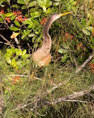 _C5A0493.jpg (Lake Worth) Tags: bird nature birds animal animals canon wings wildlife feathers wetlands everglades waterbirds southflorida 2xextender sigma120300f28dgoshsmsports