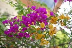 Bougainvillea blossoms (UweBKK ( 77 on )) Tags: life flowers trees orange plants nature leaves yellow garden thailand leaf petals flora asia