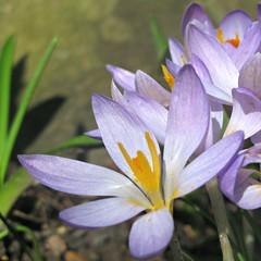 Rockery Purple (Dave Roberts3) Tags: park orange flower macro wales purple ngc crocus npc newport pollen bellevue gwent citrit