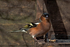 A Chaff At The Caff (me'nthedogs) Tags: cafe somerset levels chaffinch avalonmarshescentre ecofriendlybites