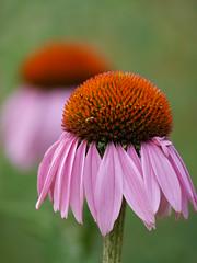Daisy Pink (Klene Hilda) Tags: aucklandbotanicalgardens