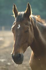 Equus ferus caballus (henk.wallays) Tags: horse macro nature closeup caballo cheval wildlife natuur pony cavalo mammalia hest aaaa hevonen paard vertebrate  poney equidae hynder equuscaballus chordata perd vertebrata zoogdier perissodactyla zoogdieren hobune hesten  hauspferd mammiferes oddtoedungulate calul kleinpferd equusferuscaballus gewervelden paardachtigen onevenhoevigen  henkwallays tamhst  kesyhevonen koduhobune tamhest