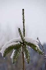 burden (SusanCK) Tags: snow landscape leavenworth susancksphoto