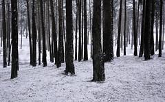 Pine trees in the snow (Simon Verrall) Tags: uk trees blackandwhite snow cold tree monochrome weather pine forest landscape outdoor surrey silence bleak column february 2015 frensham frenshamlittlepond