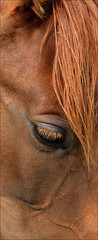 Horse head close up - Cabeza de caballo, detalle (Paco_NaturePhotography) Tags: portrait horse naturaleza detalle detail eye nature face animals closeup fauna caballo cheval lumix ojo tiere head retrato cara fringe oeil panasonic animales bangs dieren pferd equus paard primerplano flequillo naturalezacautivadora dmcfz72 pacovalero