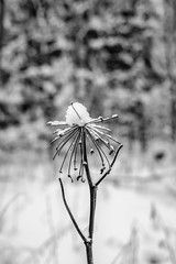 Solitude Standing (temacatz) Tags: winter bw snow cold flower nature monochrome flora fuji bokeh fujifilm xm1