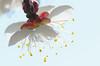 Plum blossoms (kurumaebi) Tags: flower macro nature nikon yamaguchi 梅 plumblossoms mysky 秋穂 山口市 d7000