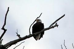 Eagle (Willie Kalfsbeek) Tags: wild tree bird alaska eagle bald ak willie kalfsbeek