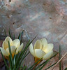 Crocus sp. (bego vega) Tags: madrid flower macro flor crocus bulbs vega vf bv bego bulbos