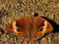 Tropical Buckeye (d_taron) Tags: costarica butterflies guanacaste nymphalidae nymphalinae junonia junoniaevarete