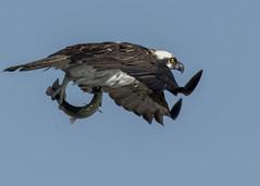 Osprey (JME_Photos) Tags: