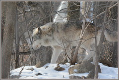 {Wolf In Woods} (Wolverine09J ~ 1 Million + Views) Tags: splash timberwolf thegalaxy minnesotawildlife simplysuperb gettyimagesandtheflickrcollection fantasticnaturegroup naturesprime sjohnsonsfaunahighqualityimages rainbowofnaturelevel1red faunafloralandscapes frameit~level01 ~wonderfulworldofwildlife~ winterwolfcameo