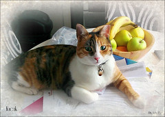 Paperweight (kiwibyrd1) Tags: cat paperweight tricolour turkish purrfect kucuk