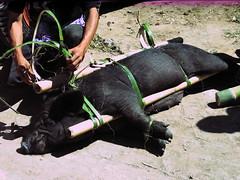 Tied up Hog