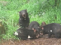 Feeding Tasmanian Devils