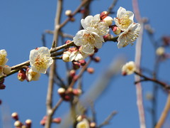 Early Spring 2015 (akiakinatsushun) Tags: flower japan spring blossom lovely  ume