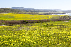 The Mustard is Blooming ! (Jill Clardy) Tags: ocean park county blue winter sky beach yellow point 1 coast weed highway san day pacific pigeon clear explore coastal vista mustard mateo brilliant explored 4b4a3978