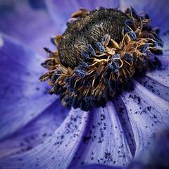 'Purple Rain' (davepickettphotographer) Tags: uk flowers flower macro nature closeup lens dead purple head olympus naturalhistory seeds anemone 60mm dying macrophotography em1 olympuscamera
