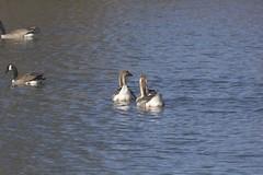 IMG_7736 (armadil) Tags: bird birds oregon duck spring ducks eugene deltapond