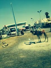 Camel, Israel (colonizedmind) Tags: road israel camel