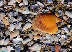 CaliforniaGold (mcshots) Tags: ocean california winter sea usa shells beach nature water seashells coast sand stock sealife socal flotsam mcshots scallop treasures mollusks beachcombing losangelescounty tinyclams