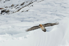 Au del des nvs (grey_tie) Tags: wild mountains alps switzerland vulture valais beardedvulture gypatebarbu dianavalais