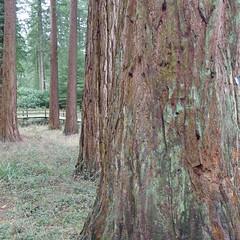 Jolly big trees!! (Emma & Justin) Tags: leica wood trees forest giant centerparcs bark redwoods leicadlux5 2015weeklyalphabetchallenge