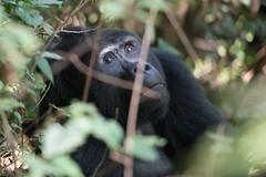 Mountain Gorilla (luke.me.up) Tags: africa nikon rainforest gorilla wildlife uganda primate d800 bwindi mountaingorilla bwindiimpenetrableforest ruhija bitukura