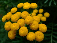 Tanacetum vulgare (yewchan) Tags: flowers flower nature colors beautiful beauty closeup garden flora colours gardening vibrant blossoms blooms lovely tansy tanacetum tanacetumvulgare goldenbuttons