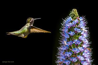 My lunch - Anna's Hummingbird