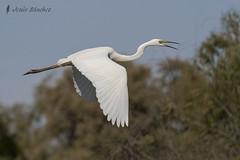 Garza blanca (Ardea alba) (jsnchezyage) Tags: naturaleza bird fauna birding ave vuelo ardeaalba garzablanca