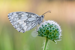 The Marbled White (Prajzner) Tags: morning nature butterfly poland naturallight lepidoptera marbled manfrotto sigma105mmmacro melanargiagalathea marbledwhite nikond7100 prajzner manfrottomt190xpro3