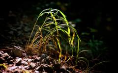 Early Morning Green - frhes Morgengrn (macplatti) Tags: morninglight green grass woods wald morgenlicht morgengrn tageszeit lonely macro makro nature flora stones xt10 xf35 koblach vorarlberg austria aut xf35mmf2r