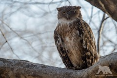 Brown Fish Owl (fascinationwildlife) Tags: animal bird raptor raubvogel vogel brown fish owl eule fischeule wild wildlife nature natur national india asia forest summer