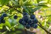 2016 Blueberry #2 (Yorkey&Rin) Tags: 2016 7月 blueberry bokeh em5 inmygarden japan july kanagawa kawasaki macro olympus olympusm60mmf28macro rin summer t7241545 ブルーベリー 夏 庭