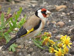 Goldfinch (Peanut1371) Tags: red brown white black bird yellow goldfinch finch gardenbird nationalgeographicwildlife
