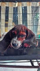basset hound love (venanciodfloresjr) Tags: hound basset