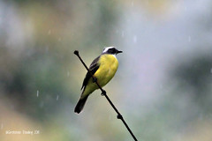 social flycatcher (gretchen dowling) Tags: socialflycatcher macawlodge costaricaseptember2015