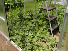 greenhouse full 20Jul16 (2) (TolCath) Tags: garden greenhouse 2016