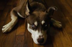 Rosco (Stacey Shay) Tags: dog pet animal mutt mix husky blueeyes canine mansbestfriend domesticanimal huskymix staceythompsonphotography