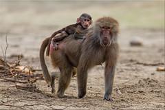 Zoo baboons [Explored] (Patrick Berden) Tags: zoo 2016 baboon baviaan aap beeksebergen explore