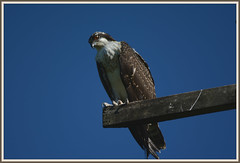 \|/ Osprey On The Beam - I. \|/ (Wolverine09J ~ 1 Million + Views) Tags: crdandsbaug16 osprey raptor birdofprey avianwildlife perching summer level1thewondersofnature level1allnaturesparadise beautifulcapture level2allnaturesparadise fantasticnaturegroup level2thewondersofnature level3thewondersofnature level1autofocus amazingcapture level2autofocus magiceye naturescreations