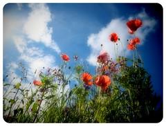 Summer in our garden... (iEagle2) Tags: flowers olympusep2 olympuspen summer sweden trollhttan