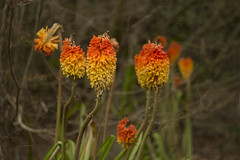 red hot pokers (louisa_catlover) Tags: garden nature outdoor plant mtwilson mountwilson ashridge bluemountains nsw australia winter august 2016 canon eos 60d helios helios442 m42 58mm f2 manual russian vintagelens manualfocus bokeh dof depthoffield flowers orange bright colourful redhotpokers kniphofia asphodelaceae