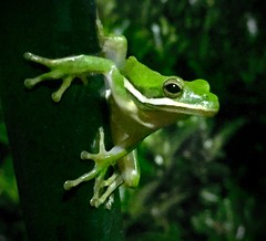 (twobytwofilms) Tags: green animals frog amphibians treefrog